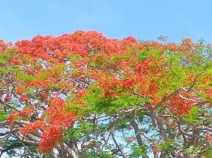 Flamboyán en flor en Miami
